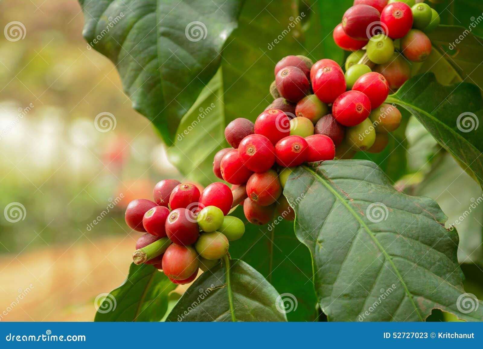 granos de café frescos en la rama de la planta del café imagen de