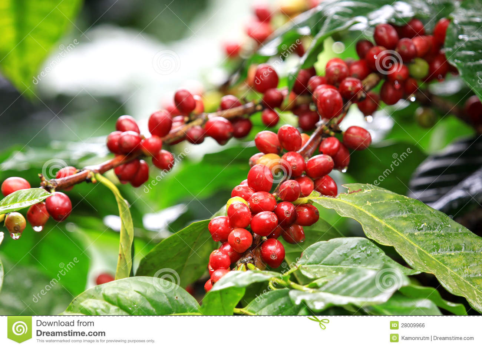 Granos de café que maduran en árbol