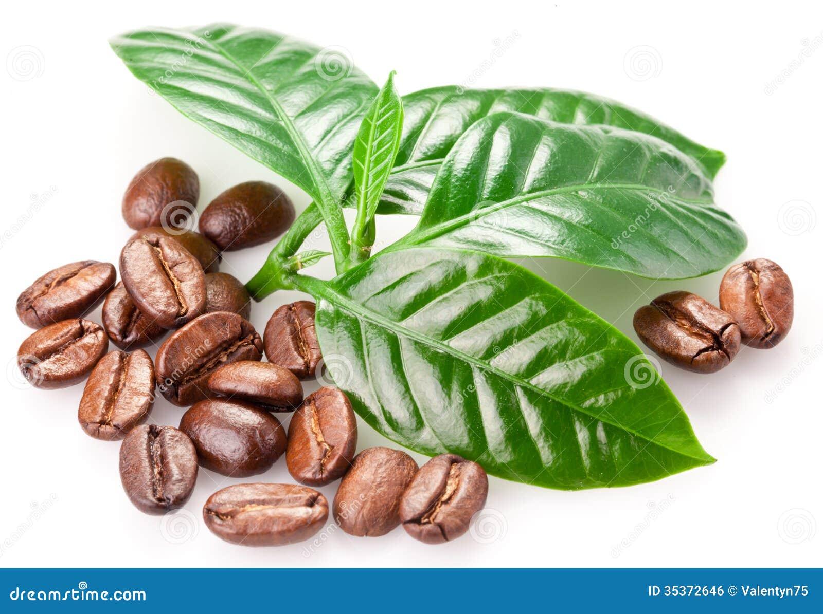 Image gallery hoja de cafe - Plantas de hojas verdes ...