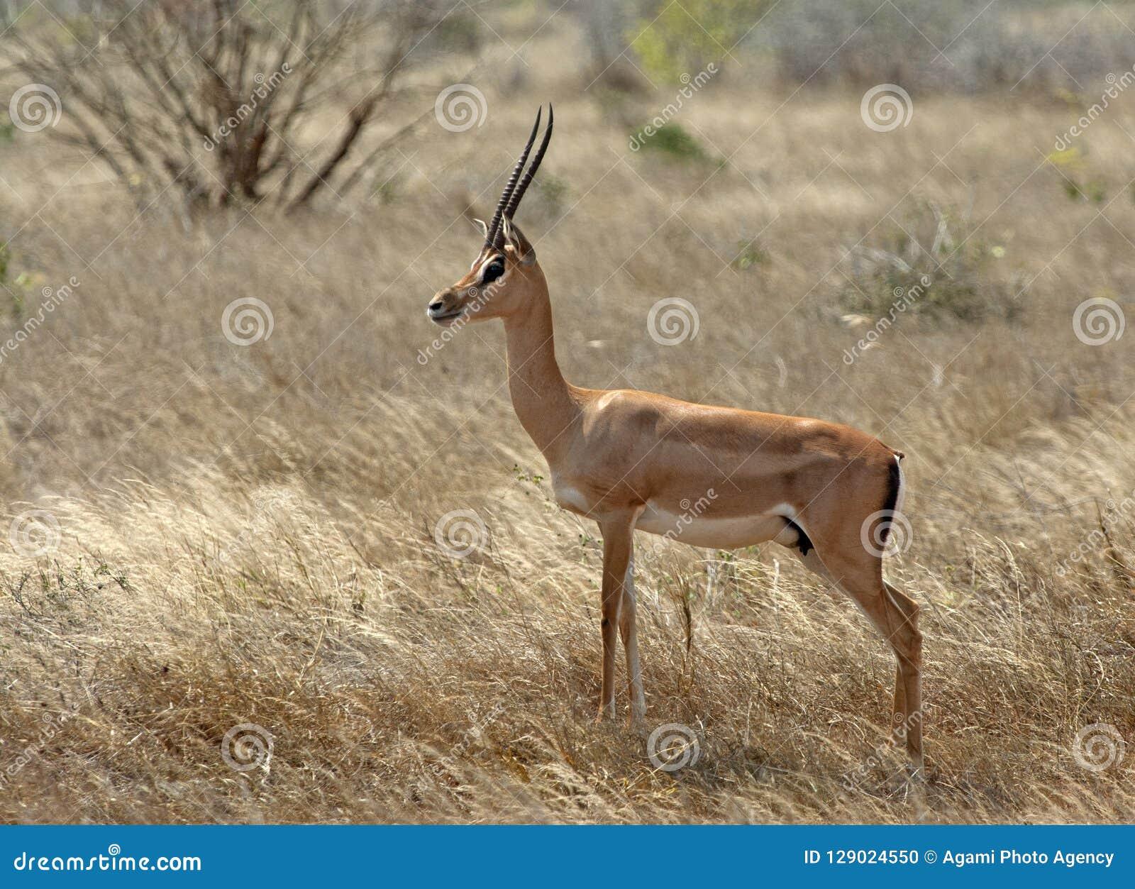 Grantgazelle Grant, s gazela,  , Nanger granti