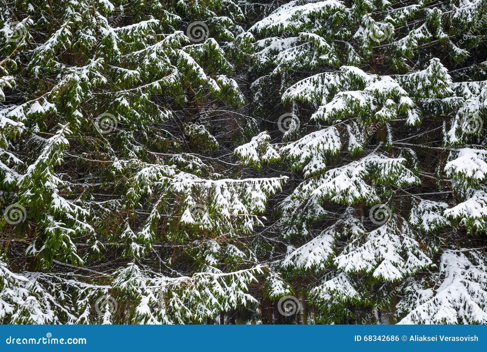 Granträd och snö