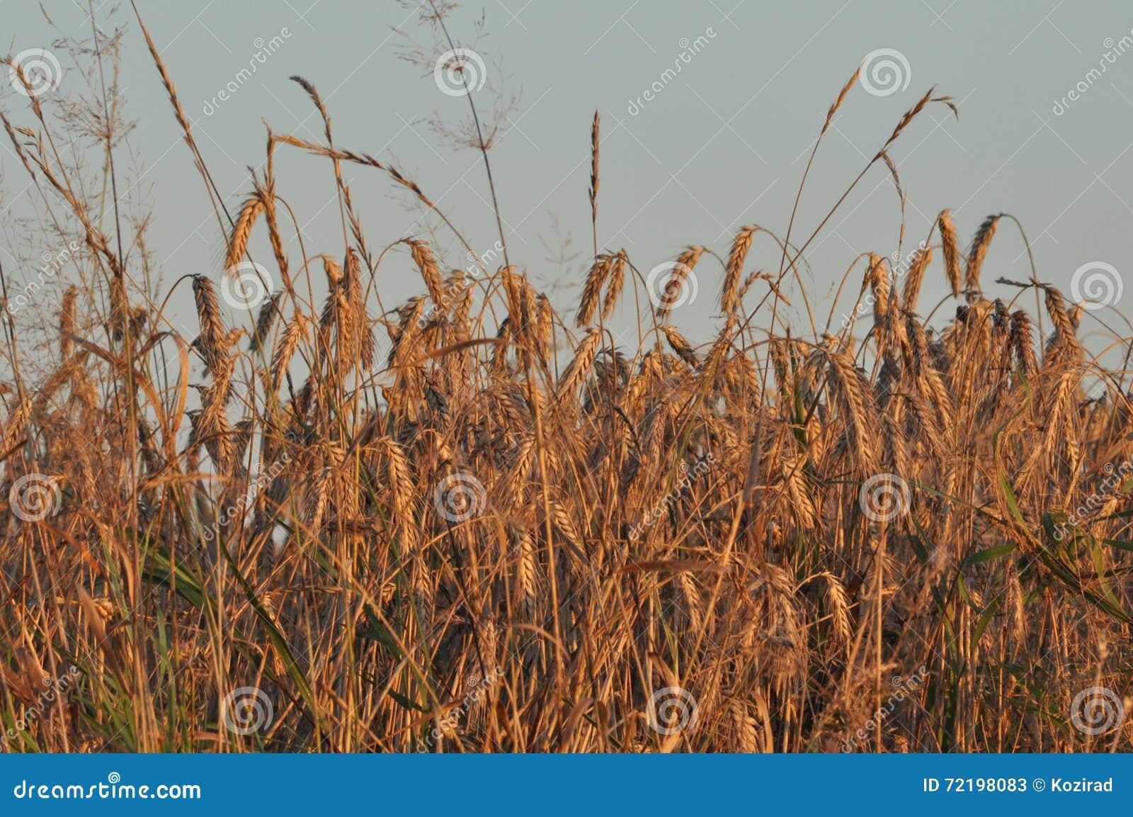 Granulo nei campi Orecchie di maturazione Raccolto e grano in farina poderi