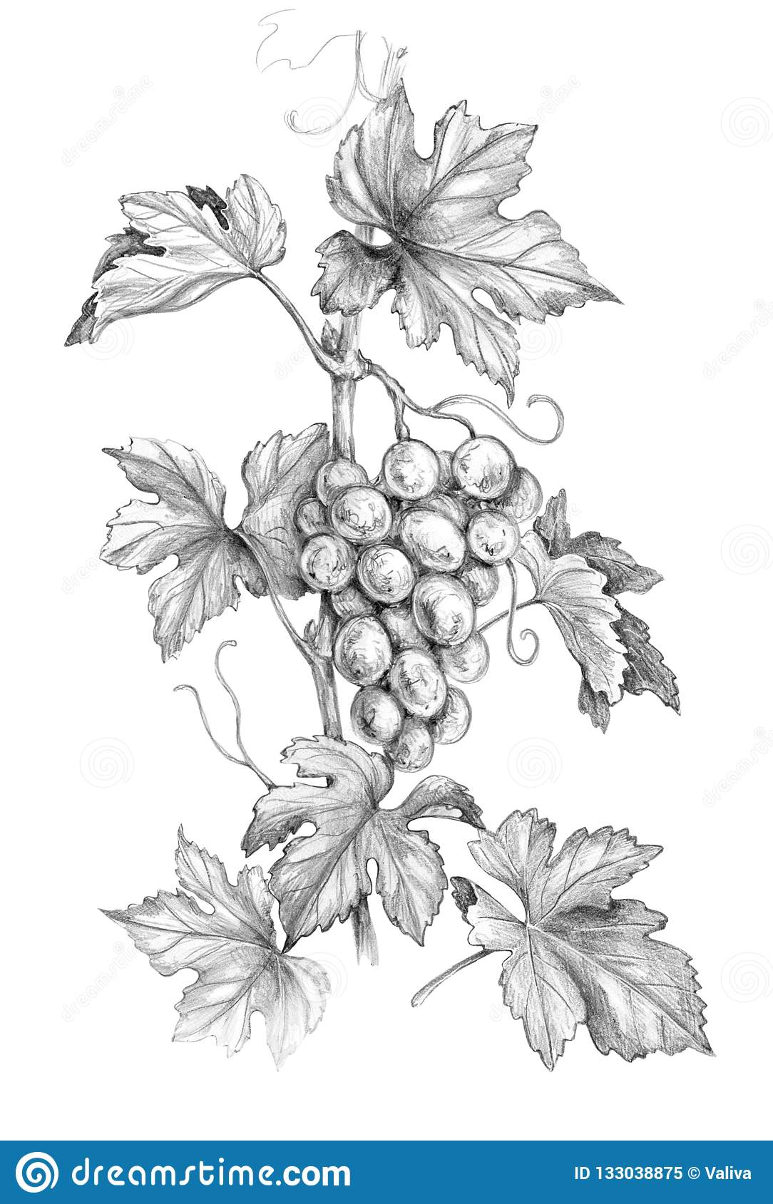 Grape branch with berries pencil drawing stock illustration