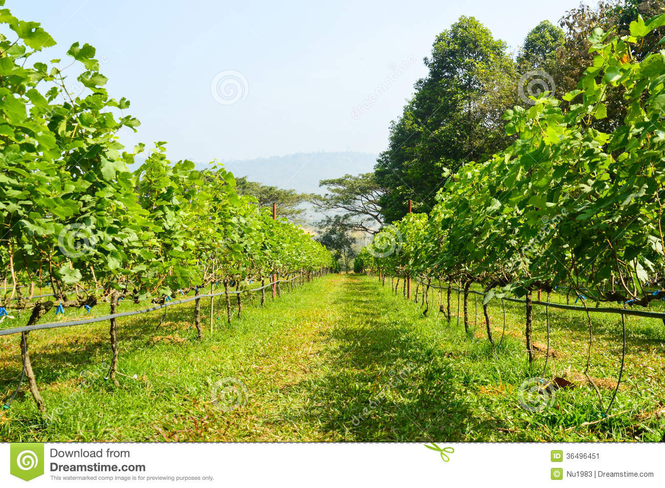 Grape Farm Stock Image - Image: 36496451