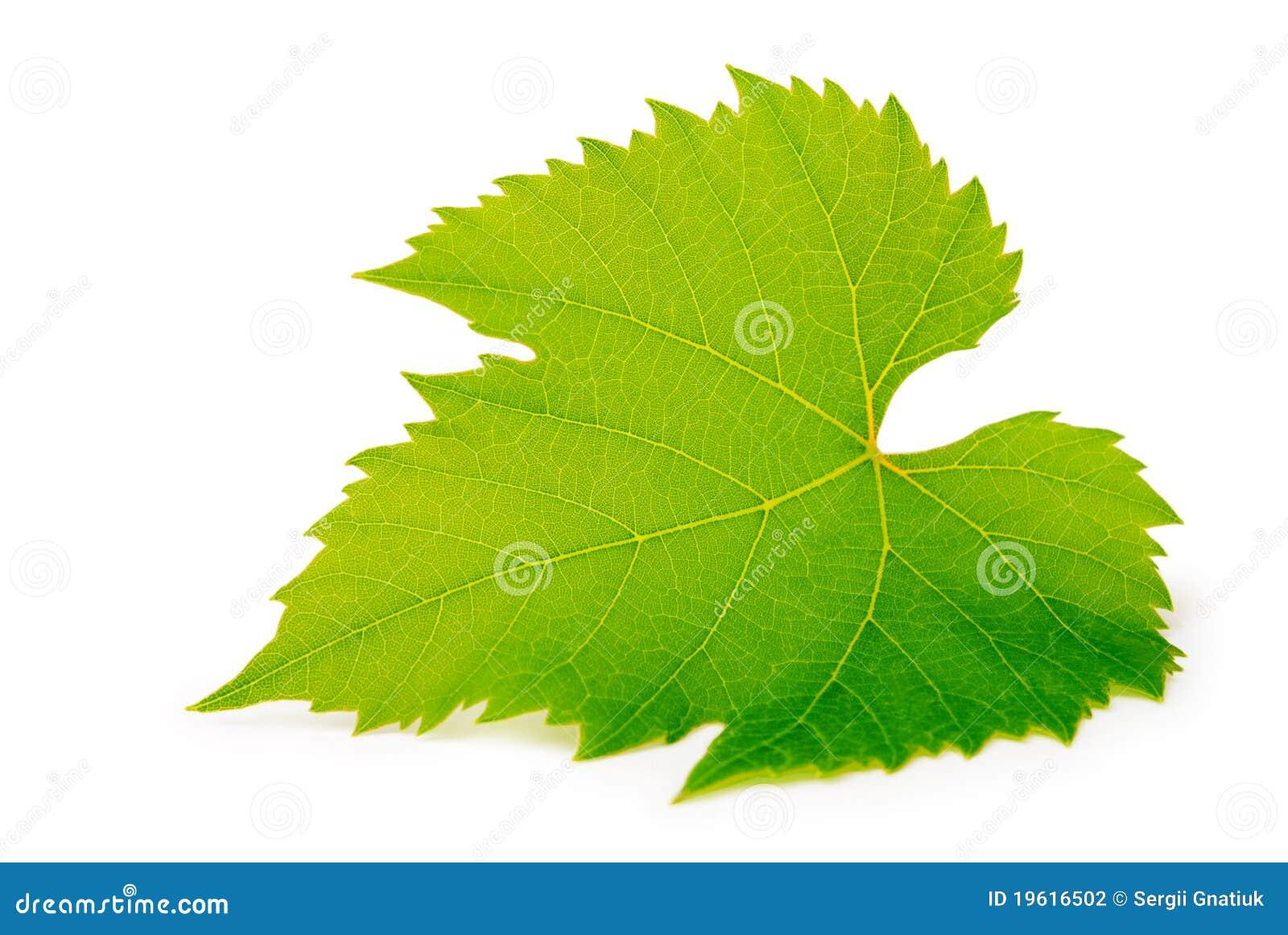 Download Grape leaf stock photo. Image of harvest, background - 19616502