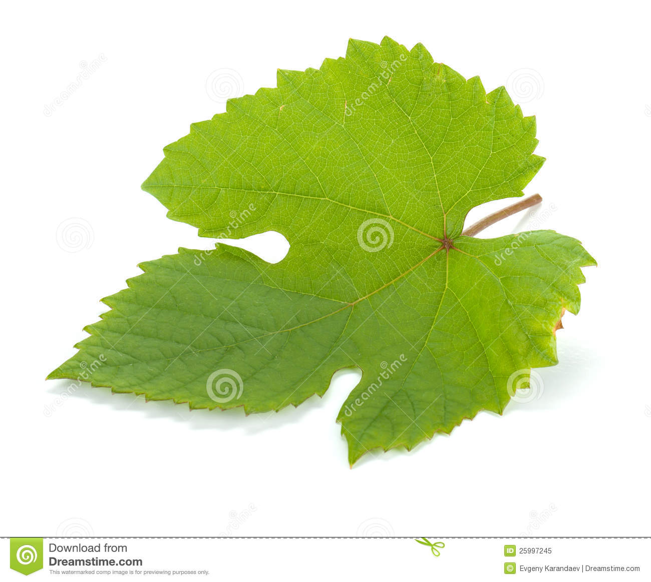 Download Grape leaf stock image. Image of isolated, color, leaf - 25997245