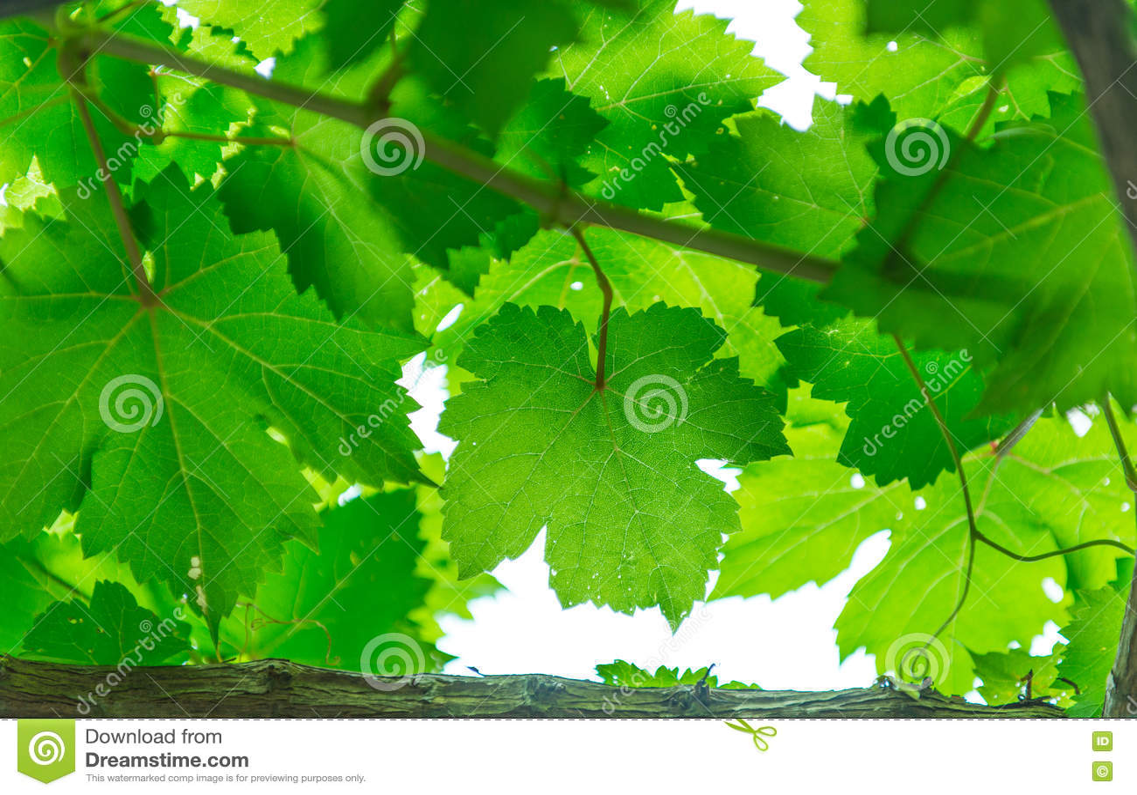 Download Grape leaf stock photo. Image of growth, sunshine, beautiful - 70398584