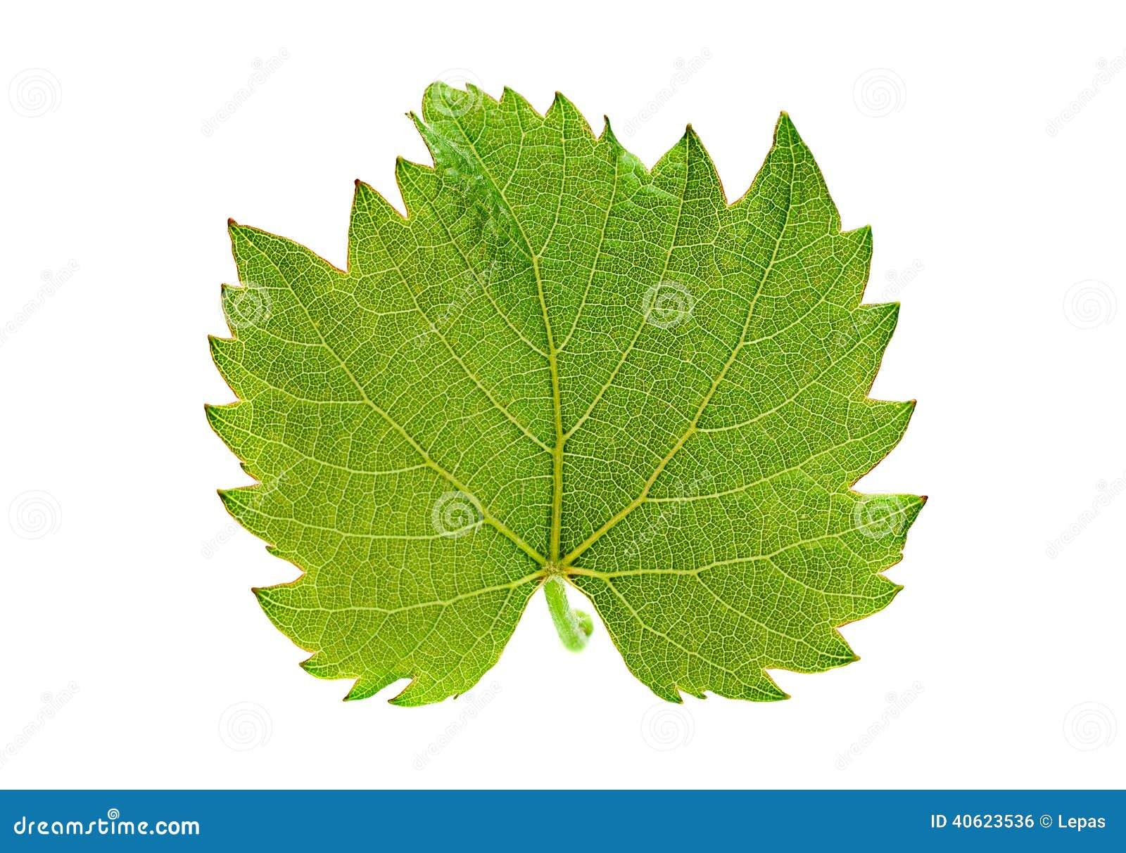Download Grape leaf isolated stock photo. Image of nobody, botany - 40623536