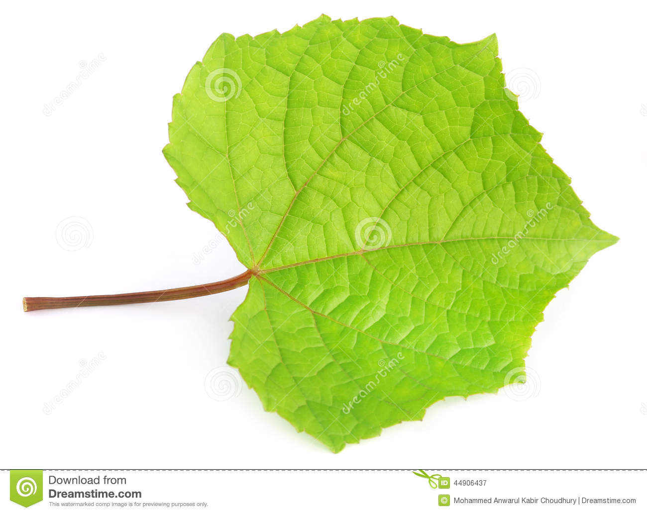 Download Grape leaf stock image. Image of texture, isolated, beauty - 44906437