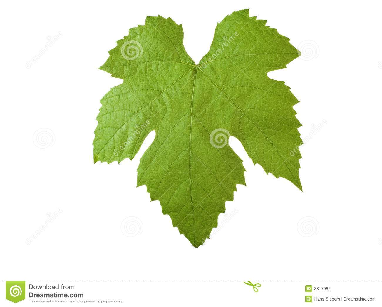 grape leave with clipping path stock image image of design fruit