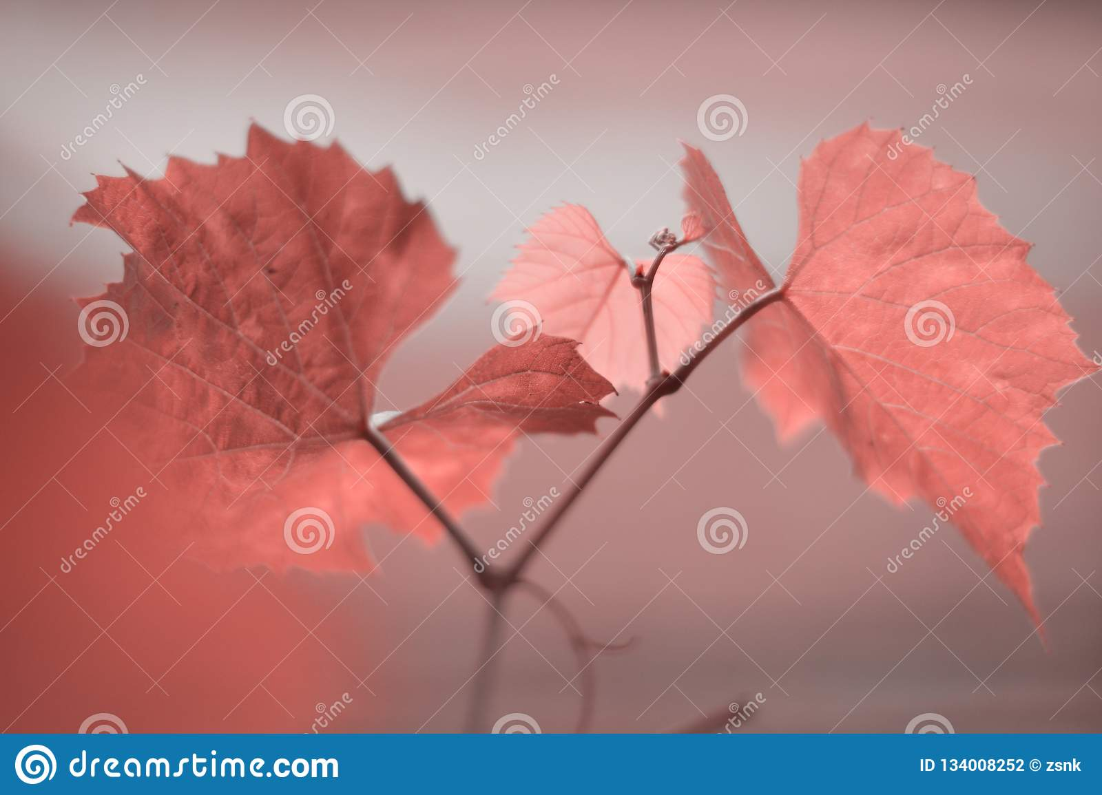 Grape leaves in colour of the year 2019 Pantone - Living Coral