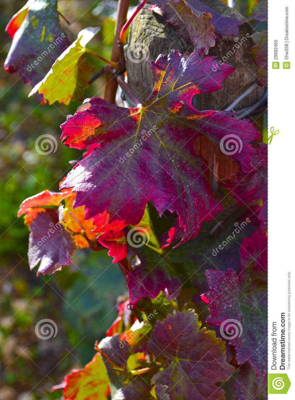 Fall grape leaves royalty free stock photo image 29992465 - The splendid transformation of a vineyard in burgundy ...