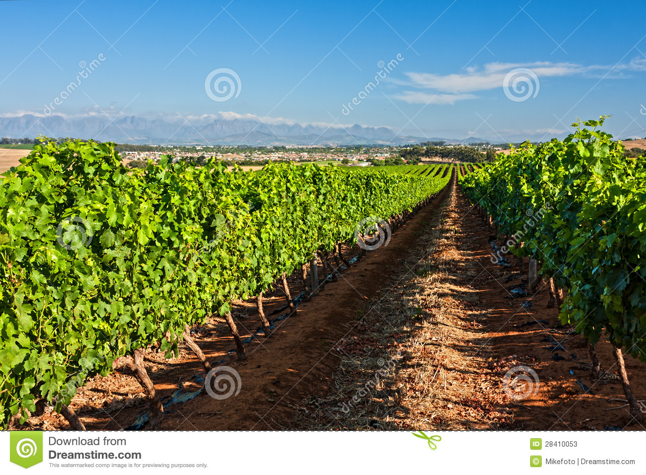 Grape Orchard Stock Photos - Image: 28410053
