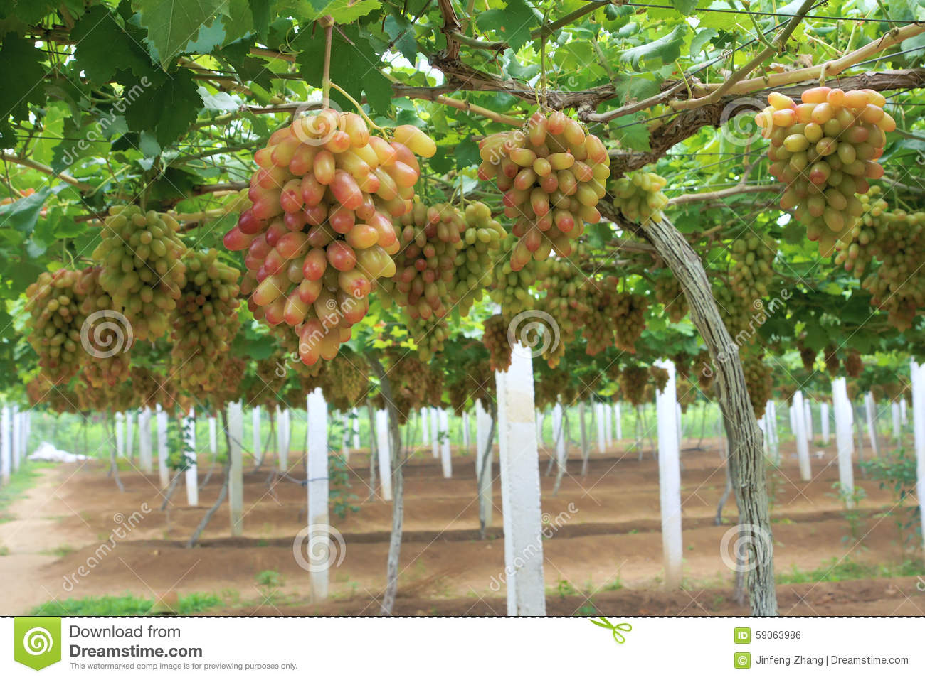 Grape Orchard Stock Photo - Image: 59063986