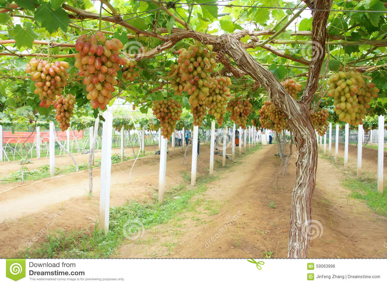 Grape Orchard Stock Photo - Image: 59063996