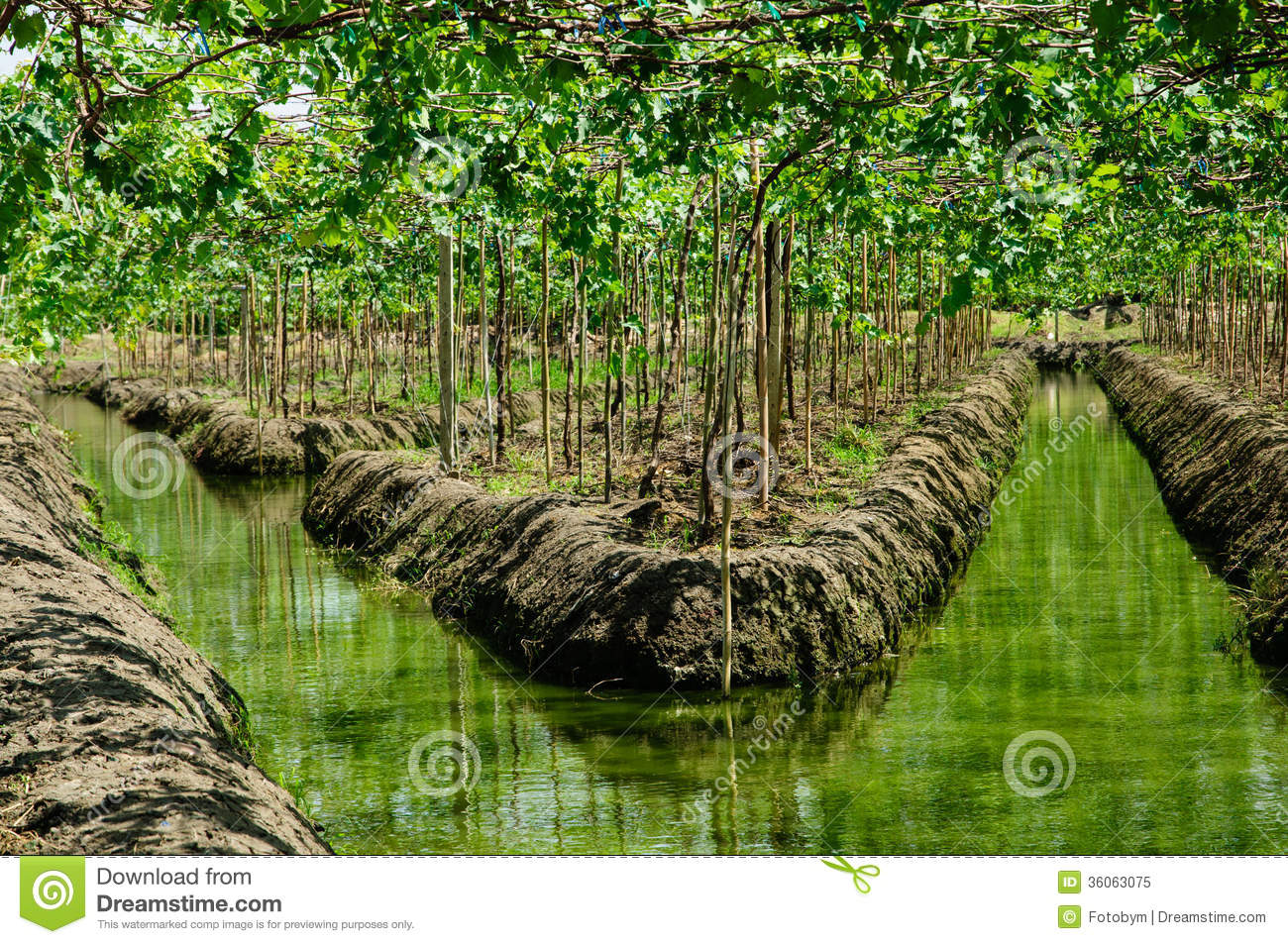 Grape Plant Or Vineyards And Irrigation Canals In Thailand
