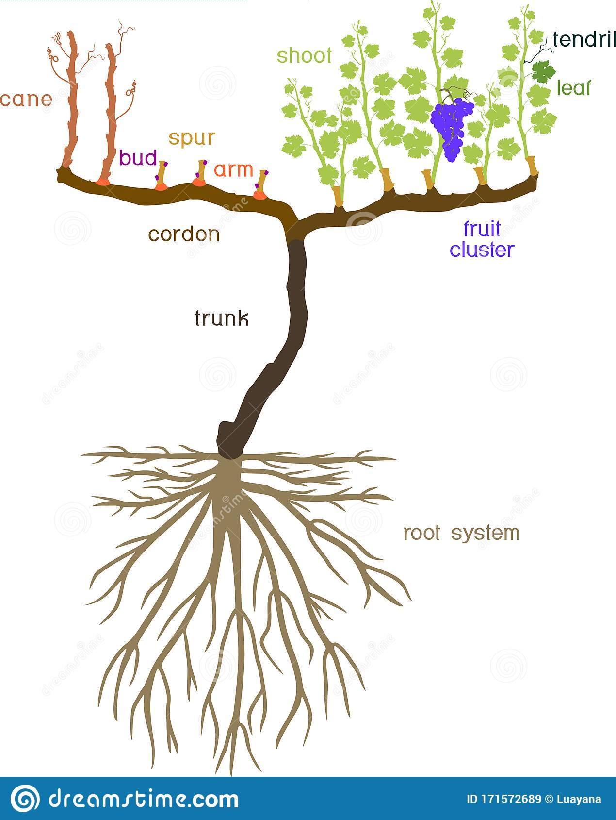 Grape Pruning Scheme Spur Pruned General View Of Grape Vine
