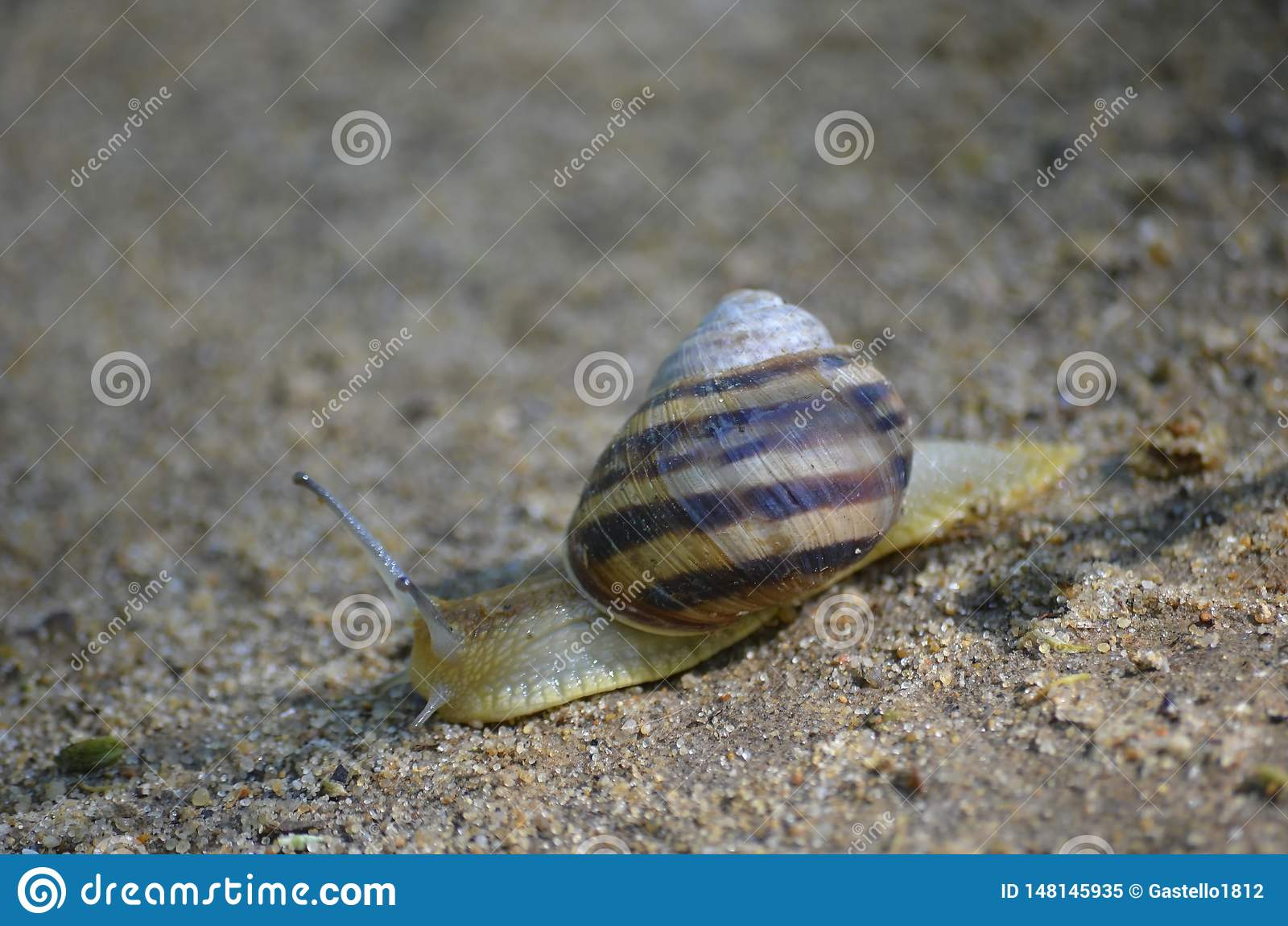 Grape snail crawling on the sand. Macro