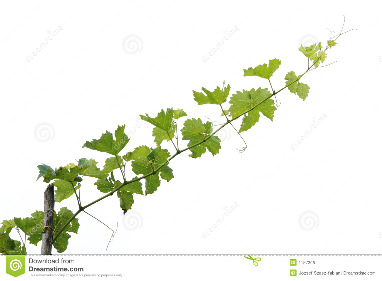Grape Tree Branch Royalty Free Stock Image - Image: 1187306