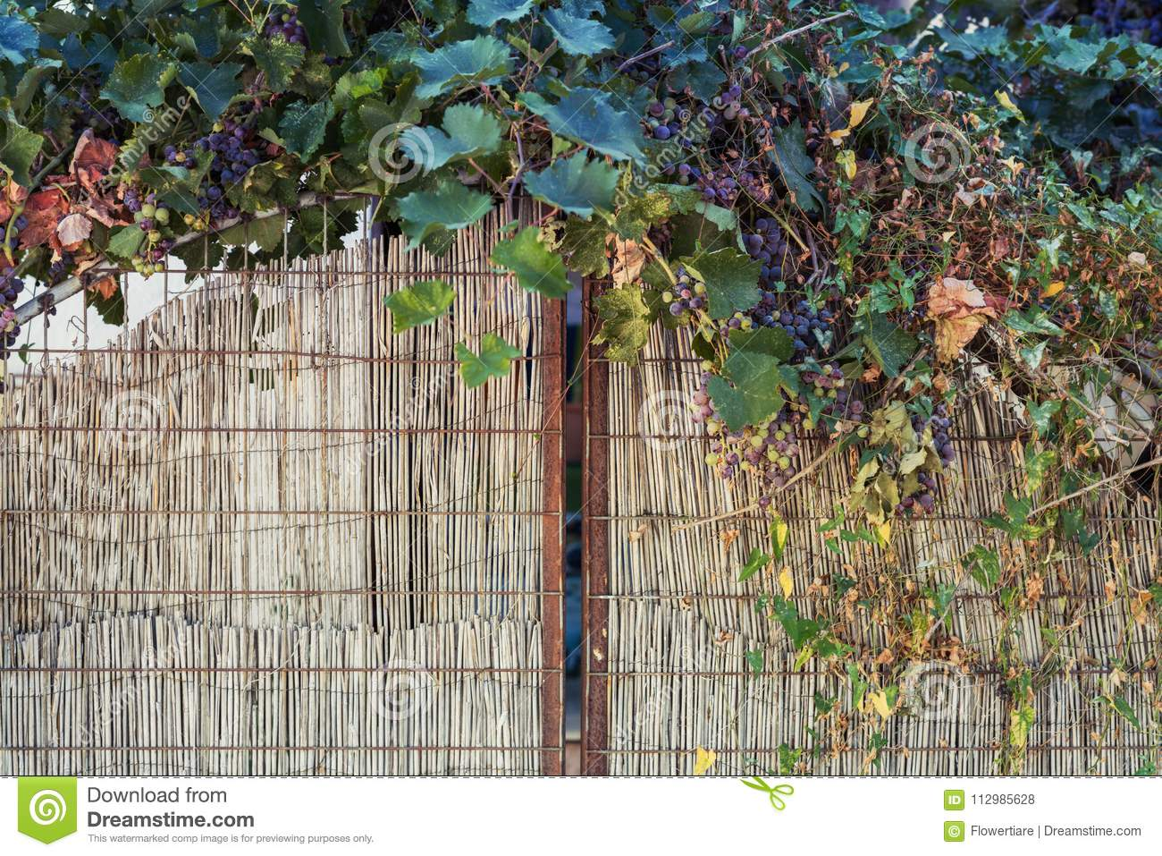 Grape vine on the background of a gate made of straw
