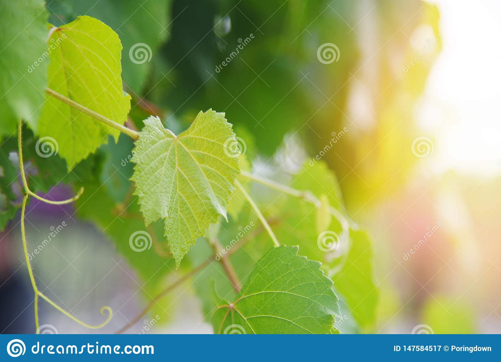 Grape vine green leaves on branch tropical plant in the vineyard nature