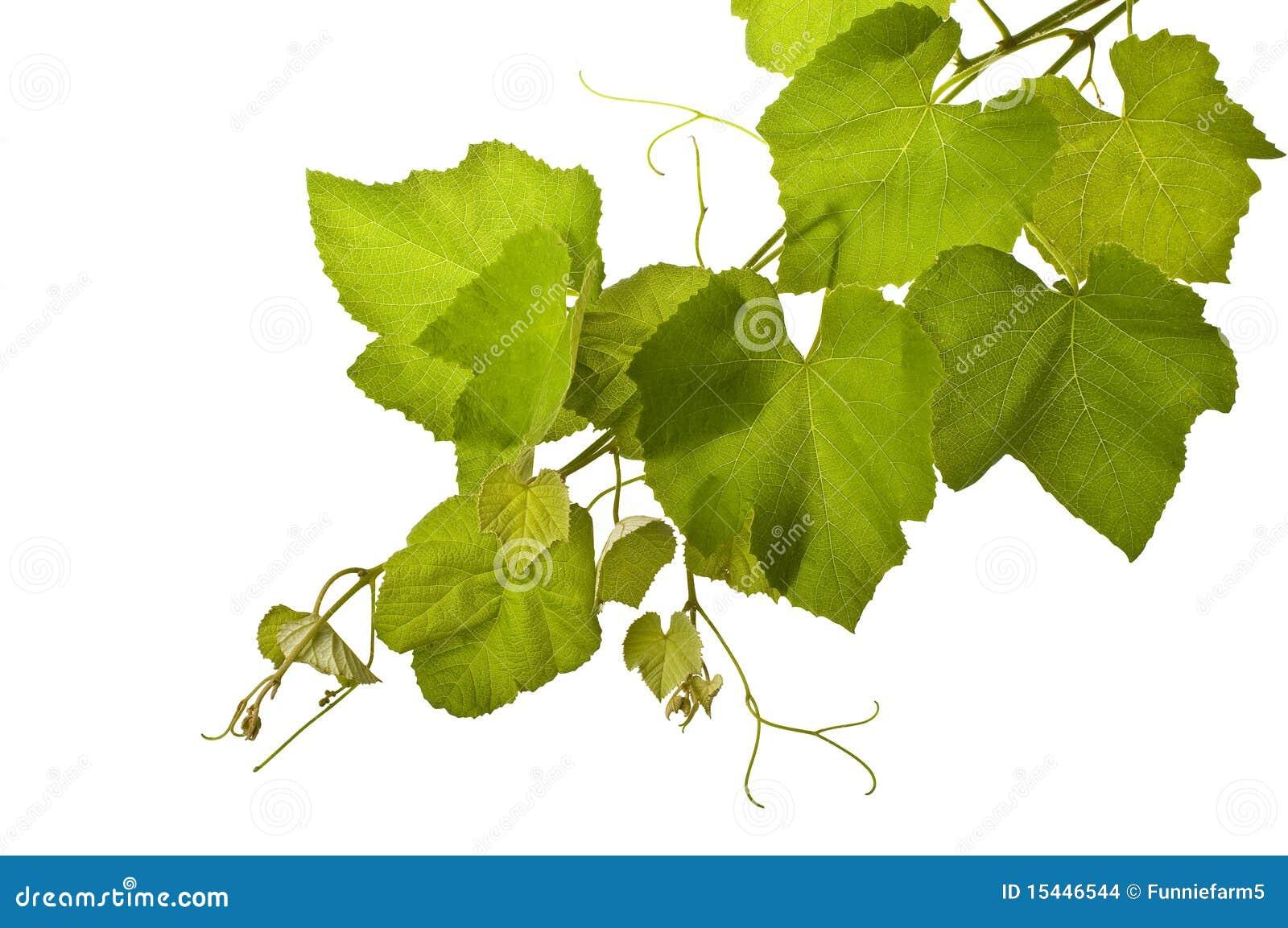 Grape vines isolated
