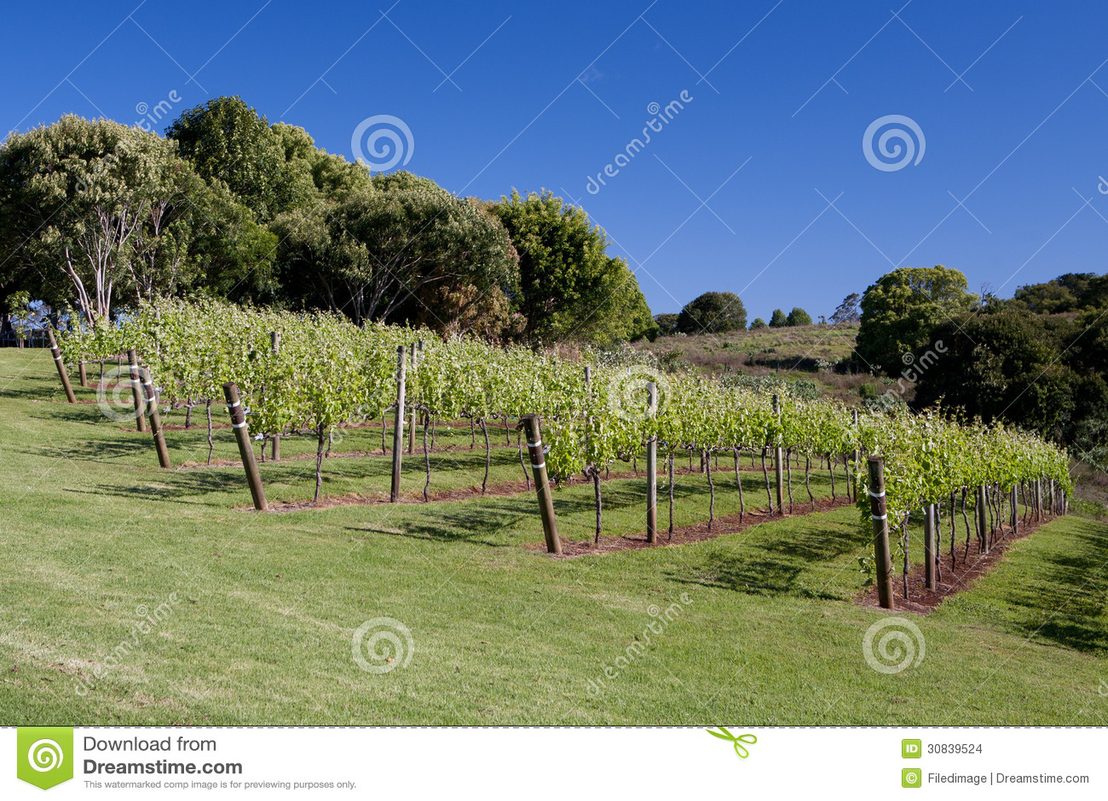 grape vines stock images
