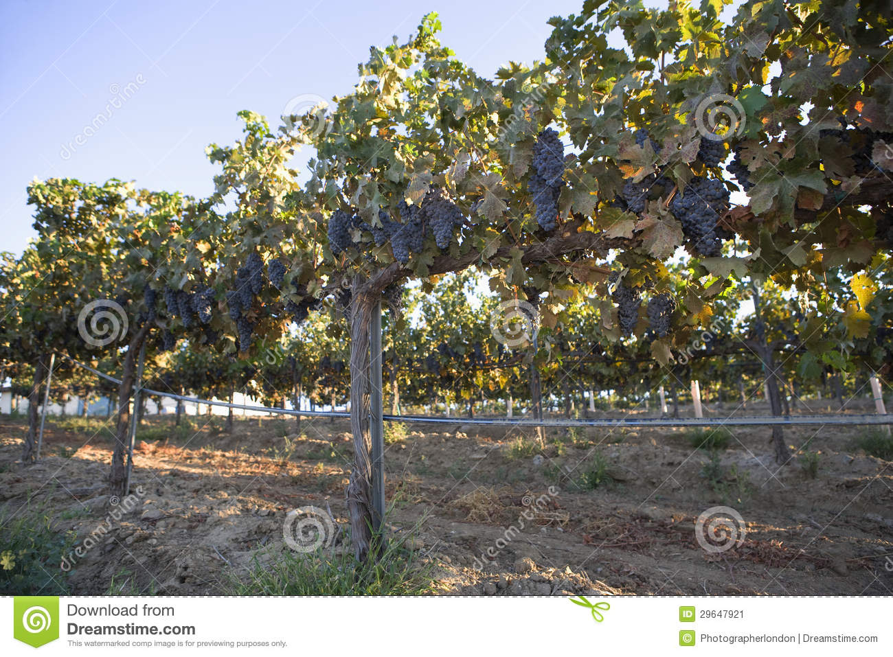 Grape Vines On A Wire Fence Post Stock Image Image 29647921