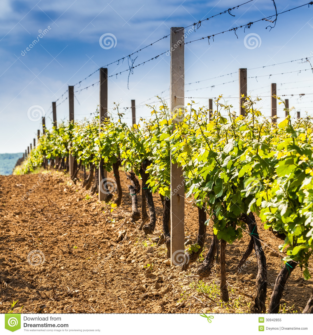Grape wines with in the vineyard