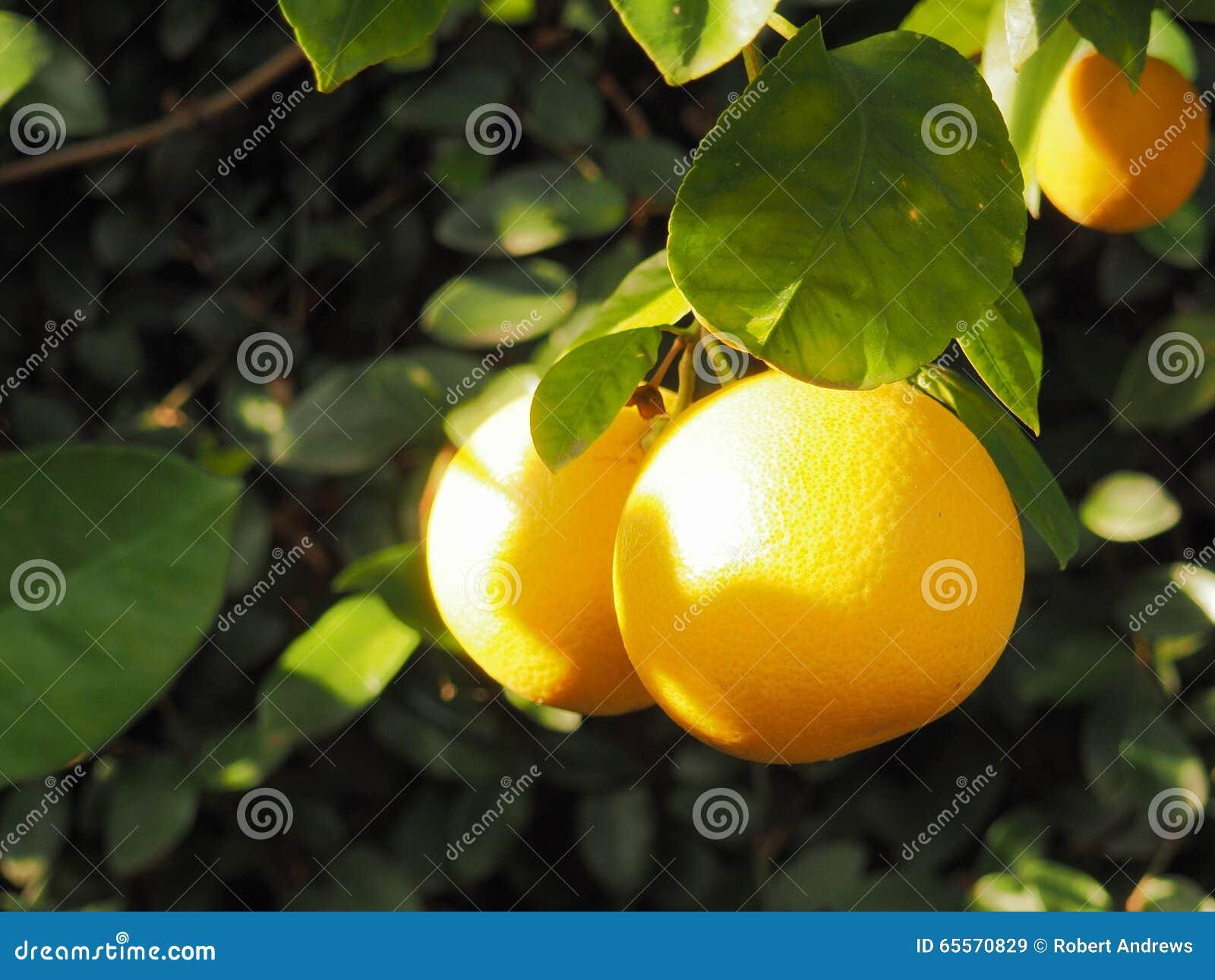 Grapefruit op boom