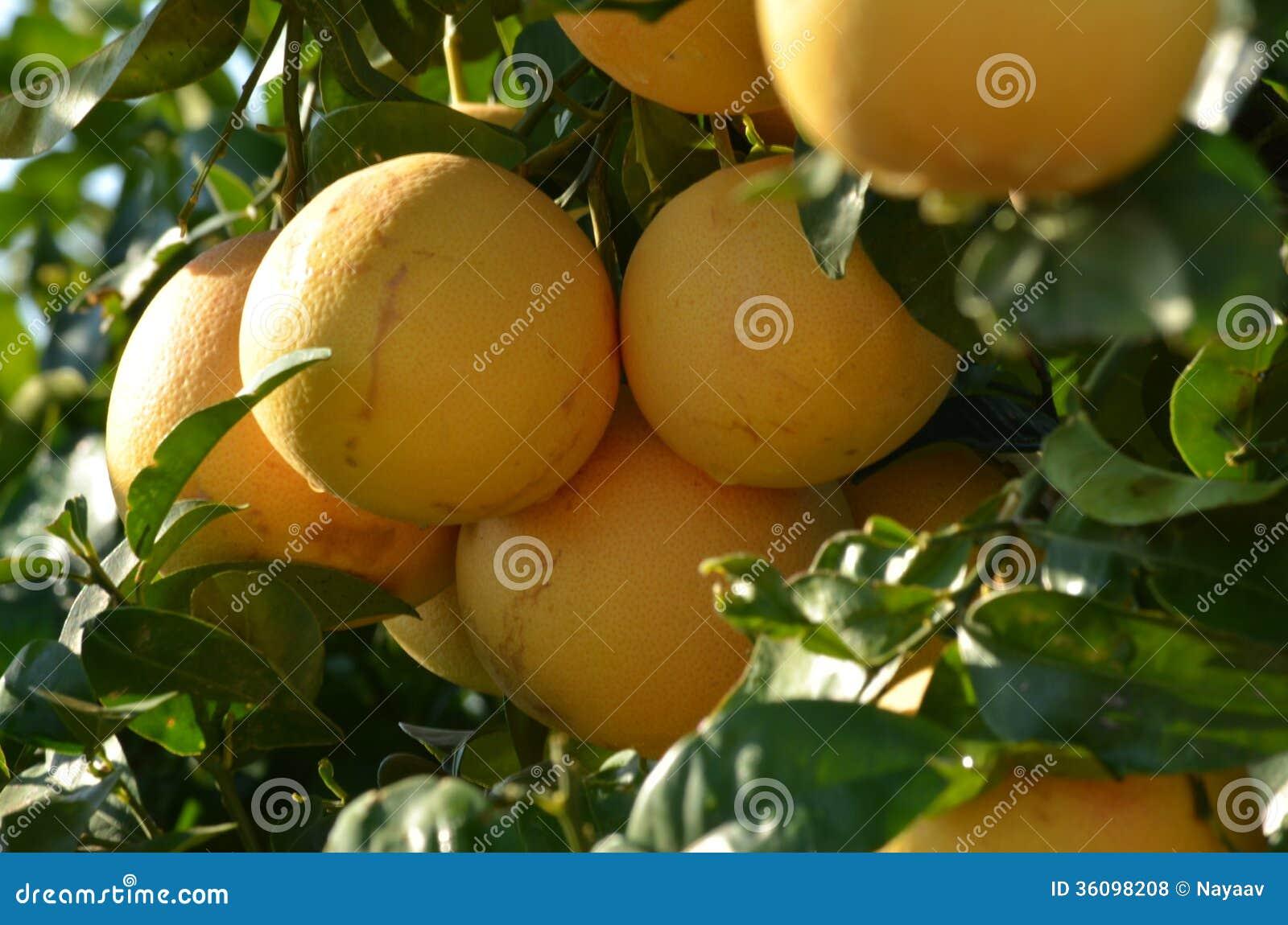 Grapefruitowy drzewo