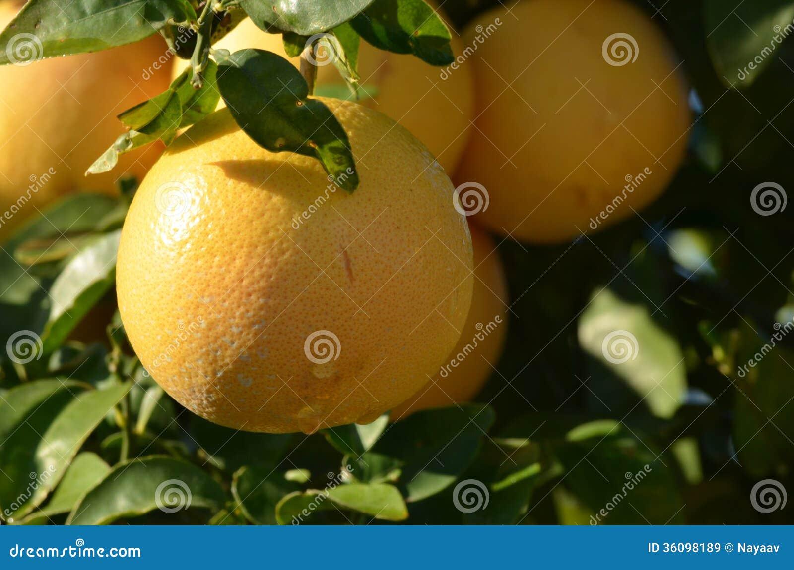 Grapefruktträd