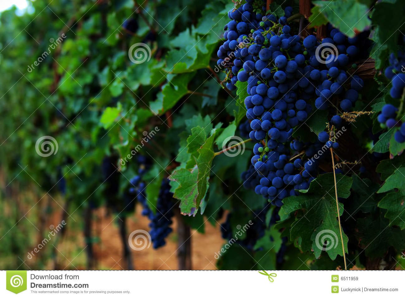 Grapes hanging from a vine