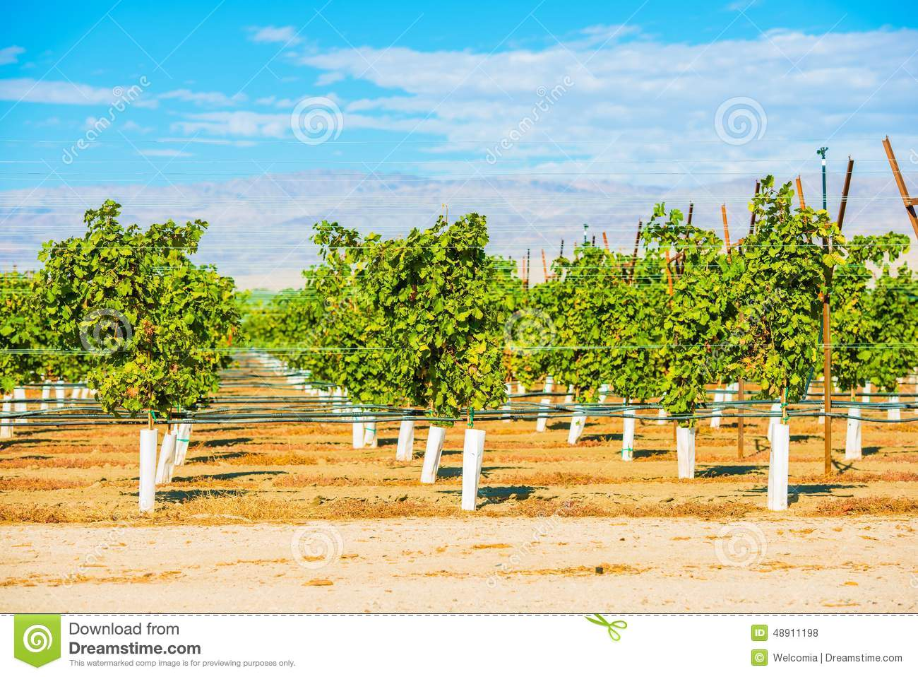Indio (CA) United States  City new picture : ... Vineyards in Indio, Coachella Valley, California, United States