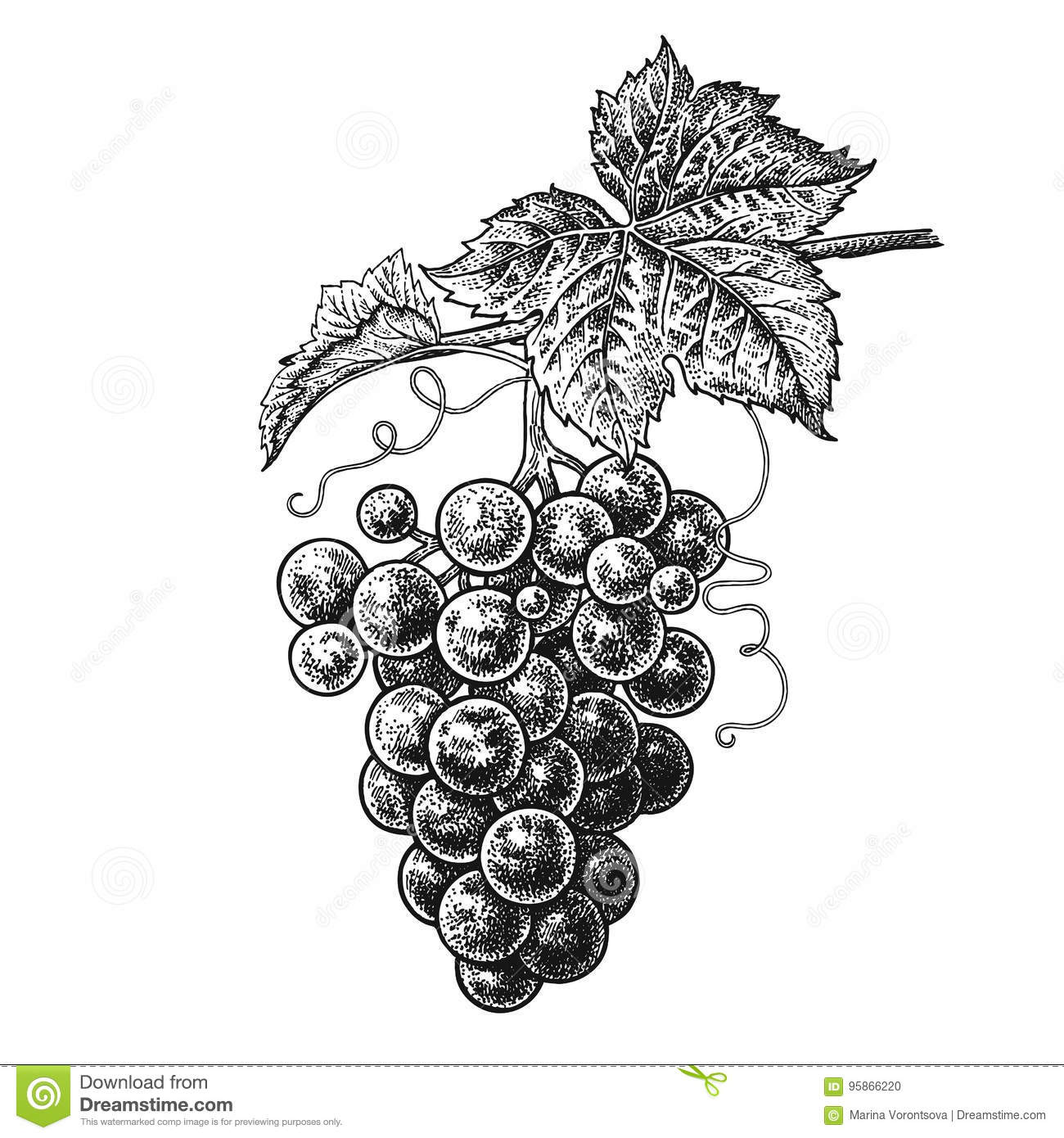 Grapes. Realistic Hand Drawing. Stock Vector - Illustration of ...