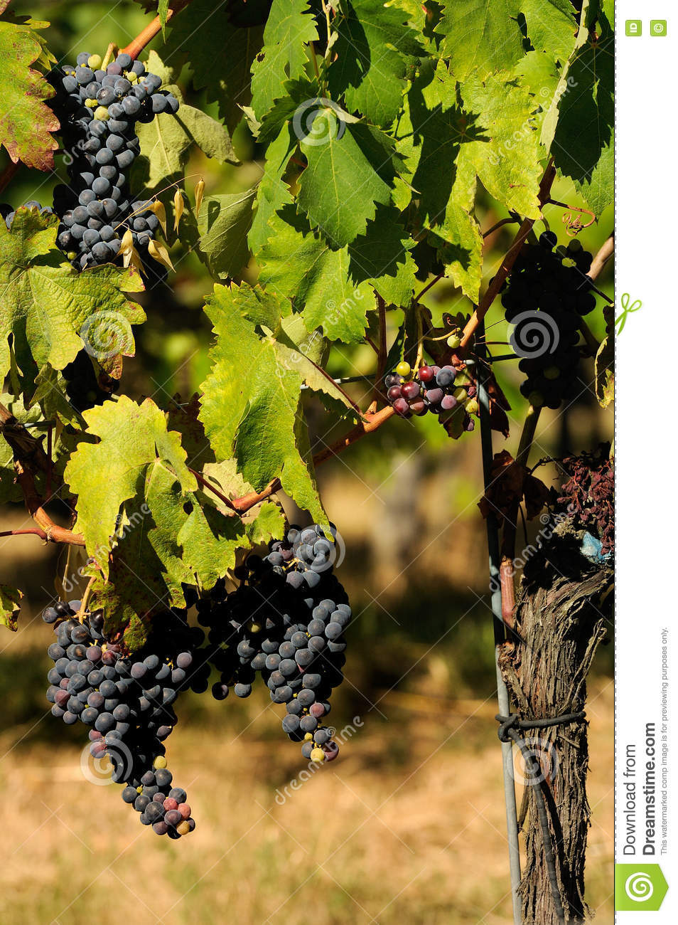 Grapes of red wine, Wineyards in Tuscany, Chianti, Italy