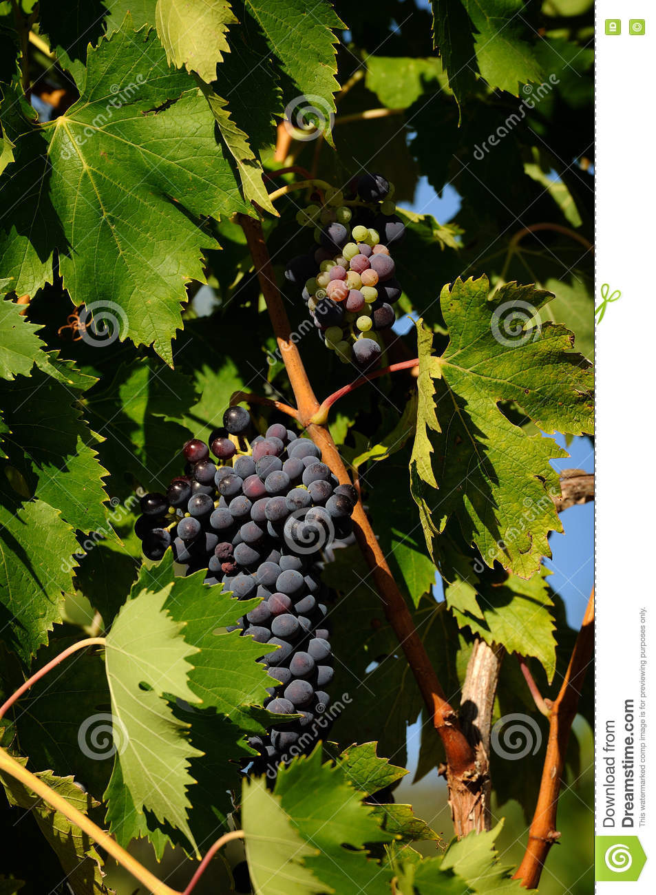 Grapes of red Wine in a Wineyards in Tuscany, Chianti, Italy