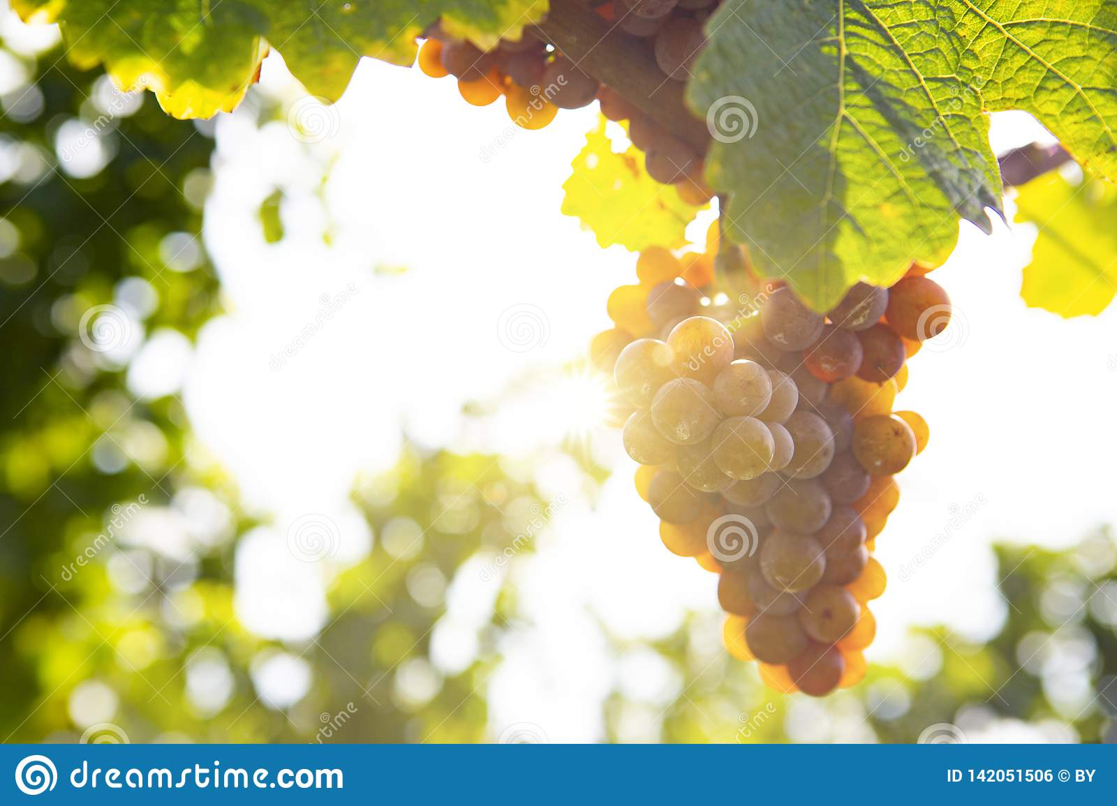 Grapes in Sunlight
