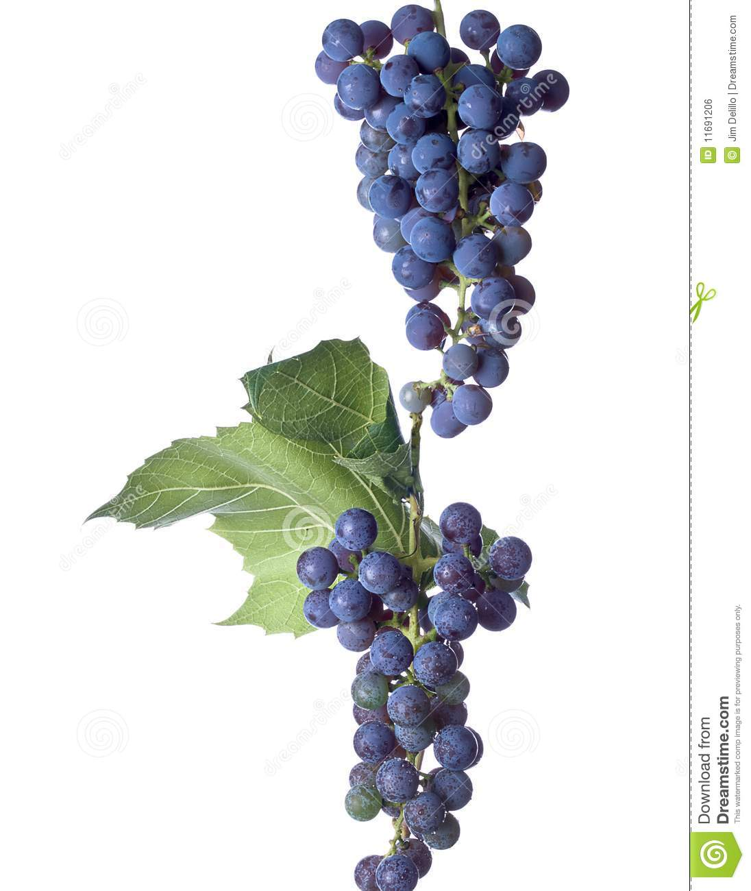 Grapes On The Vine Royalty Free Stock Image Image 11691206