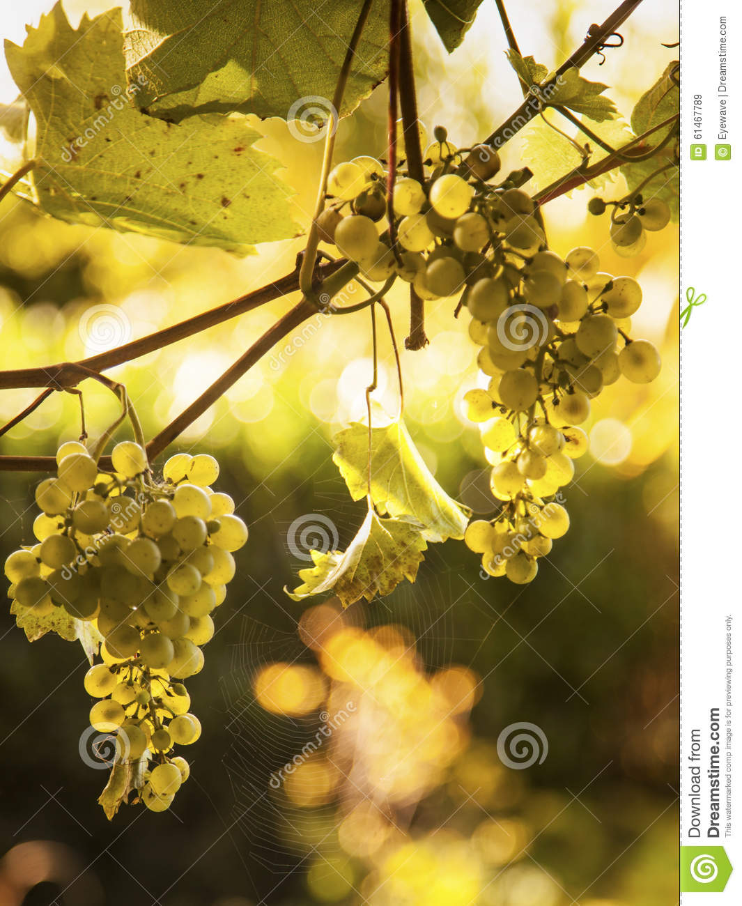 Grapes on vine and spider web in sunlight