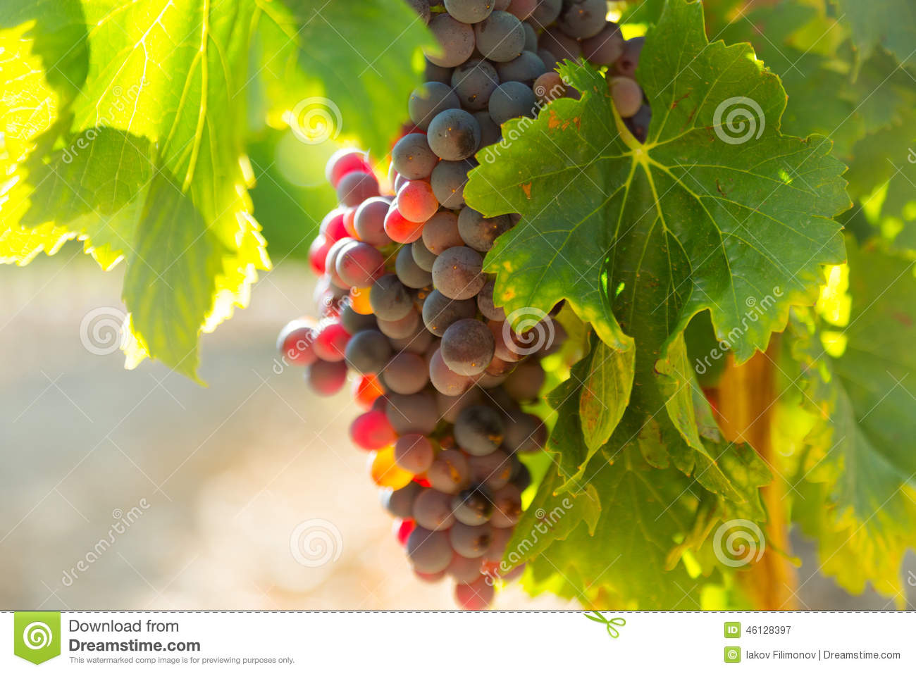 Grapes at vineyards plant in sunny august day