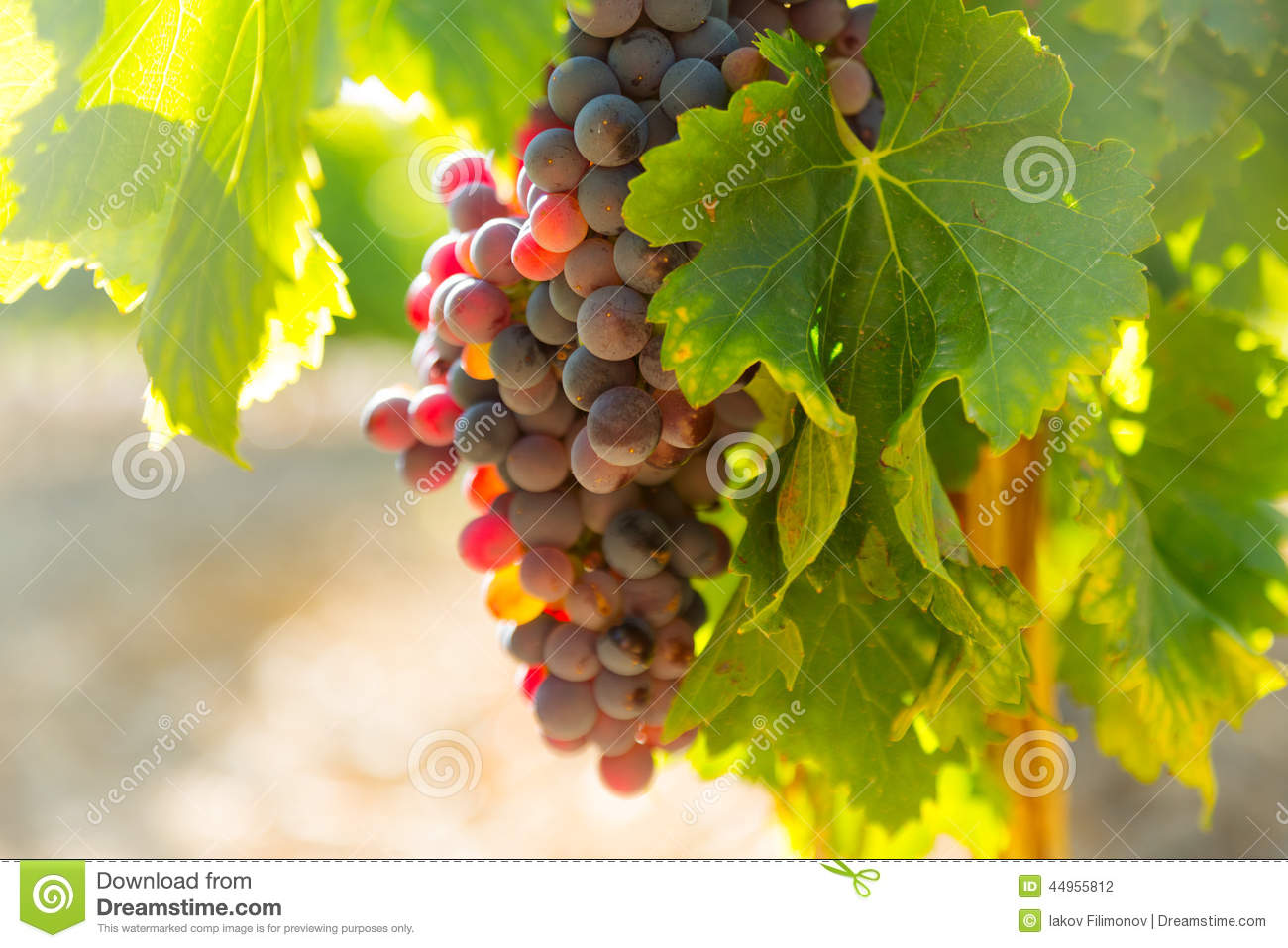 Grapes at vineyards plant in sunny day