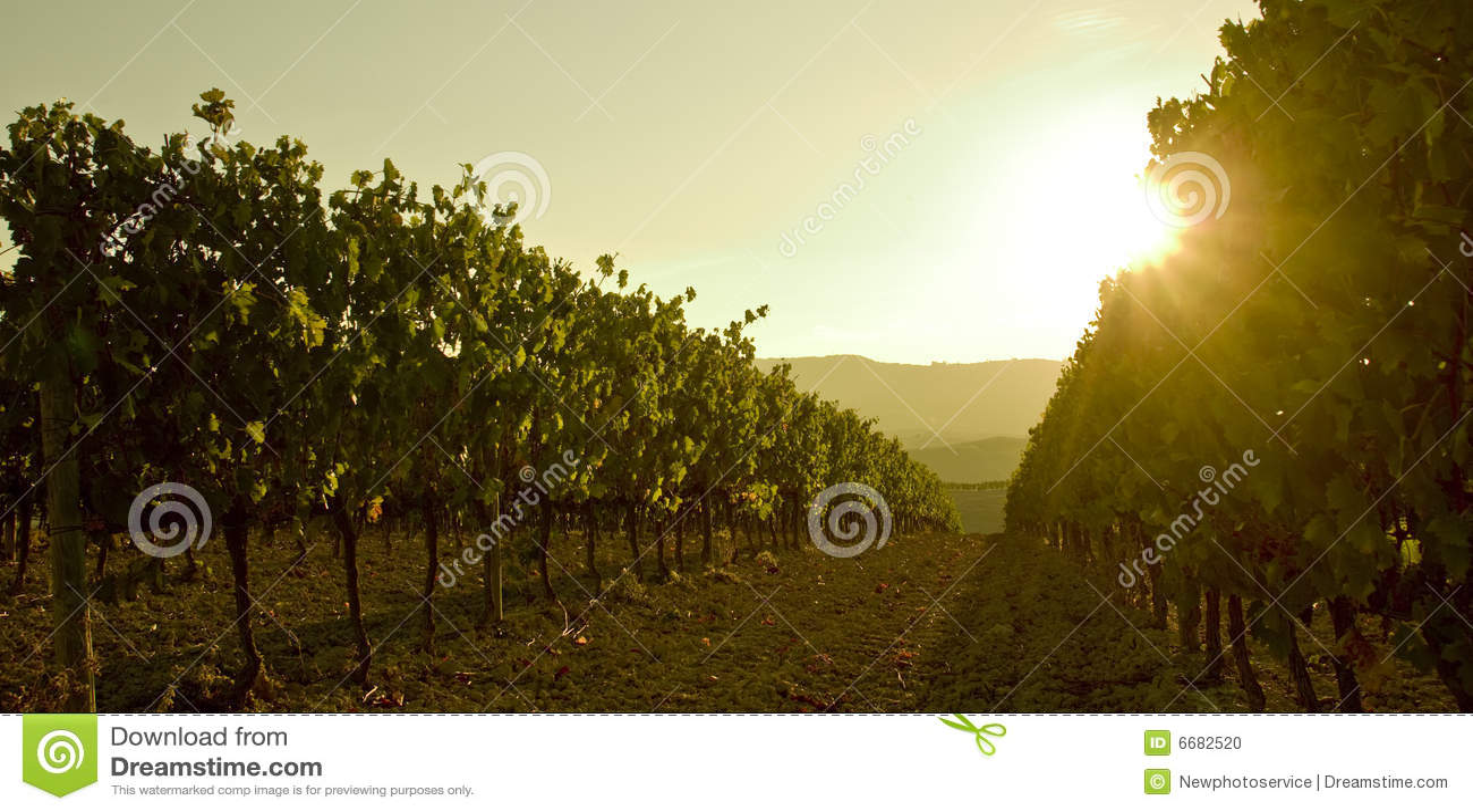 Grapesvine at sunset