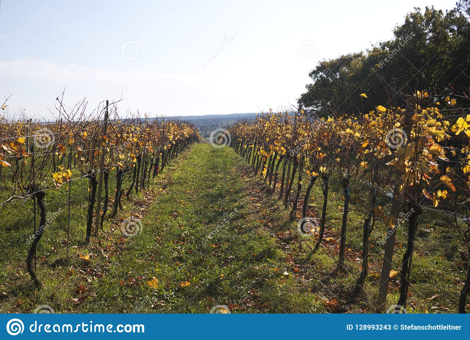 a grapevine on a field in autumn