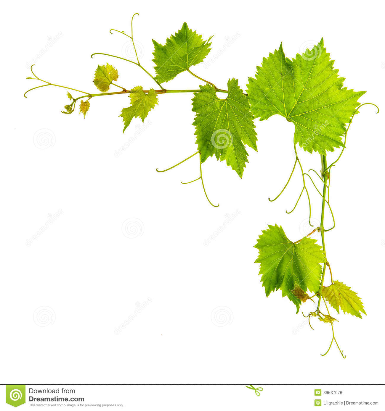 Grapevine Leaves Border Isolated On White Stock Photo - Image ...