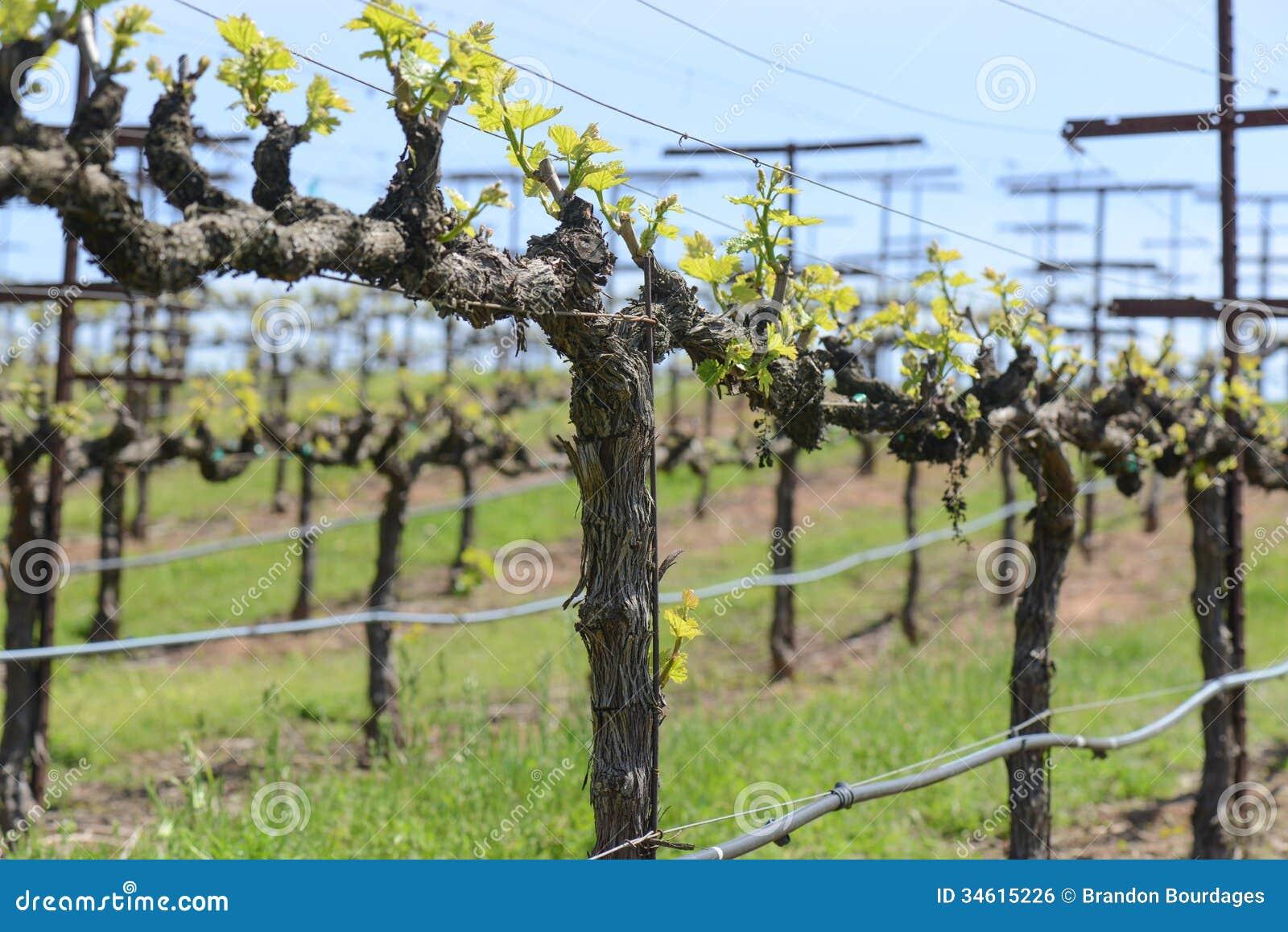 Grapevine in spring stock photo image of vinifera vitis 34615226 - Planting grapevine in springtime steps ...