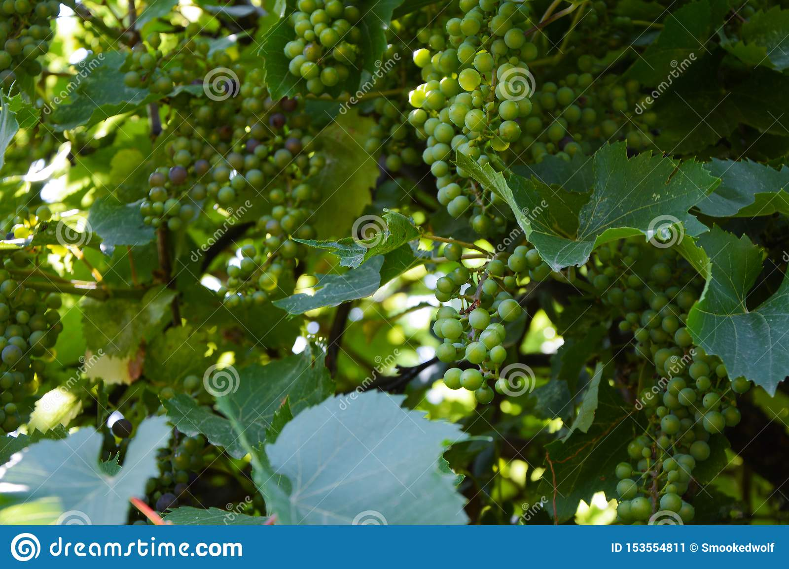 Grapevine on a sunny, green background in the garden