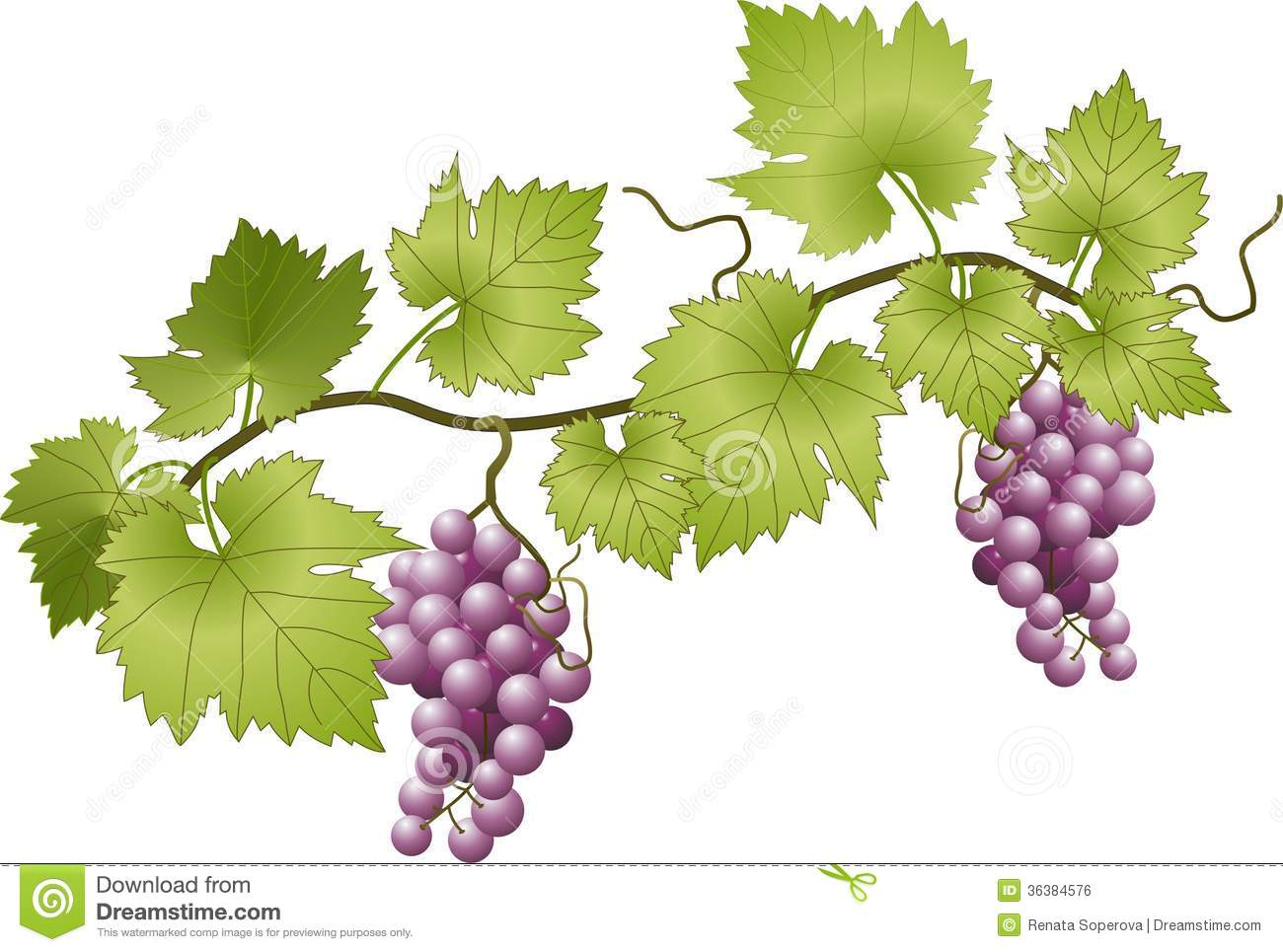 new product 672bb 5967e Grapevine stock vector. Illustration of vector, illustration - 36384576