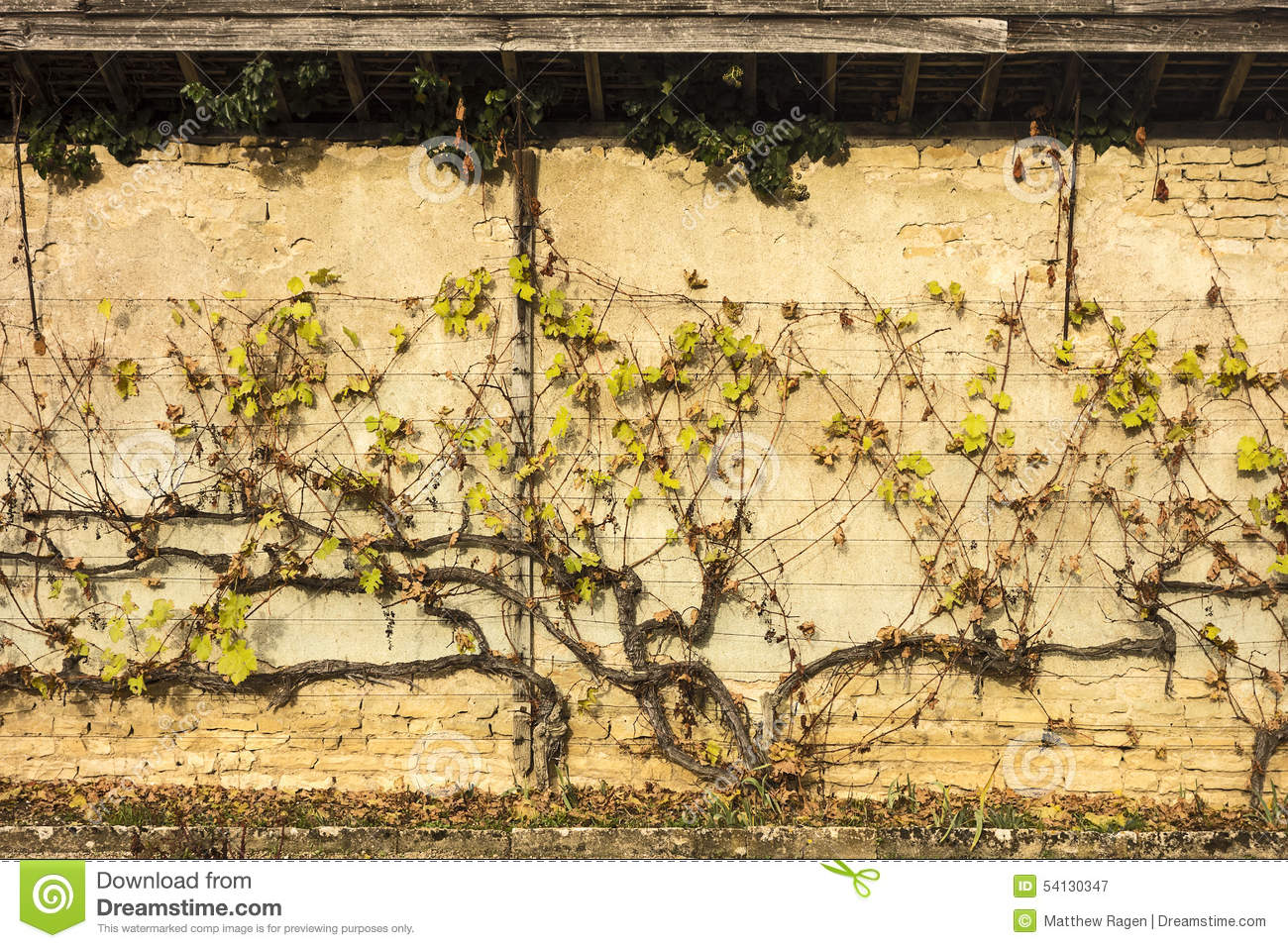 Grapevine On Wall Stock Image Image Of Chateau Vines 54130347