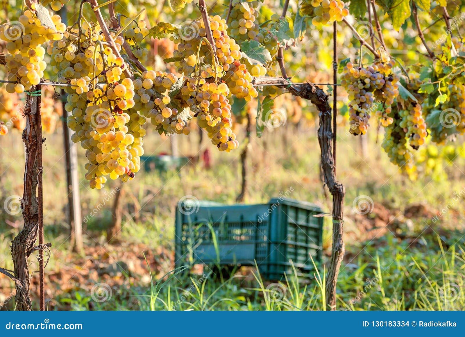 Grapeyard med den plast- skördasken för druva Ggreen dal med wineyards